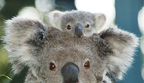 Billabong Koala and Wildlife Park - Accommodation Tasmania