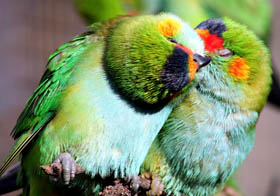 Rainbow Jungle - The Australian Parrot Breeding Centre - Accommodation Tasmania