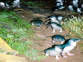 Penneshaw Penguin Centre - Accommodation Tasmania