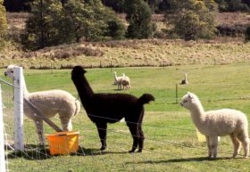 Maydena Country Cabins Accommodation  Alpaca Stud - Accommodation Tasmania