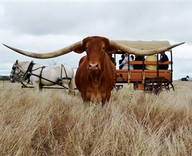 Texas Longhorn Wagon Tours and Safaris - Accommodation Tasmania