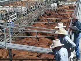 Dalrymple Sales Yards - Cattle Sales - Accommodation Tasmania