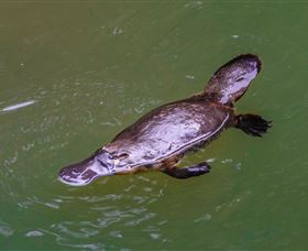 Platypus Viewing at Broken River - Accommodation Tasmania