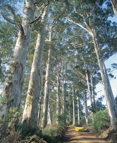 The Great Forest Trees Drive - Accommodation Tasmania