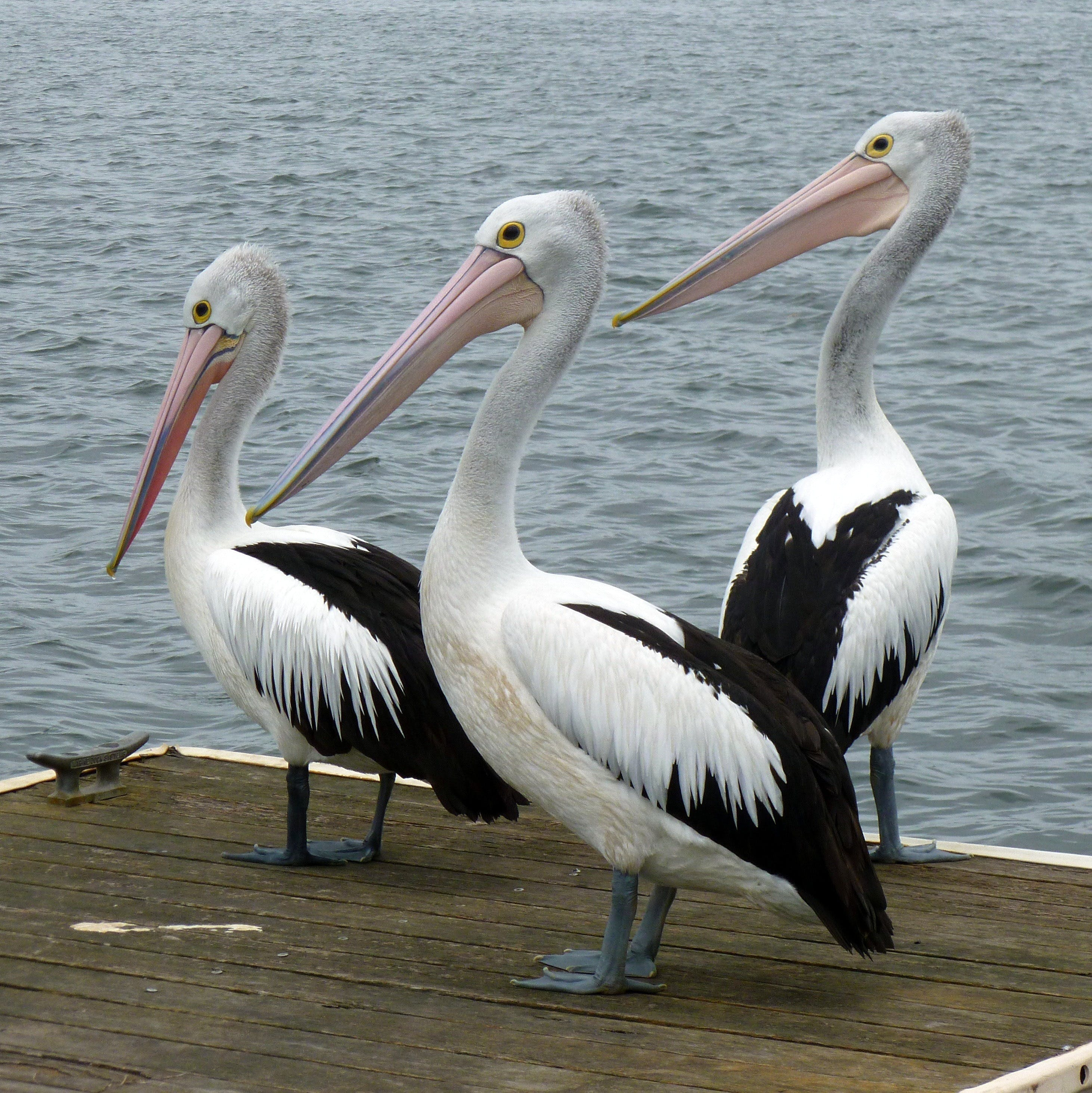 Pelican Feeding - Accommodation Tasmania