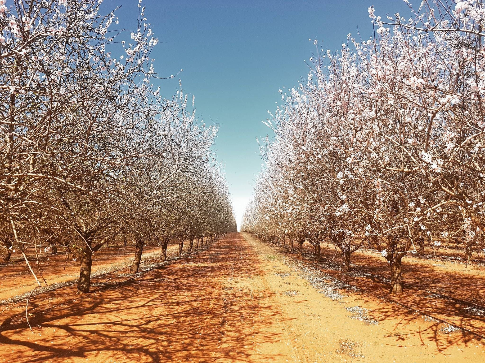 Mallee Almond Blossom Festival - Accommodation Tasmania
