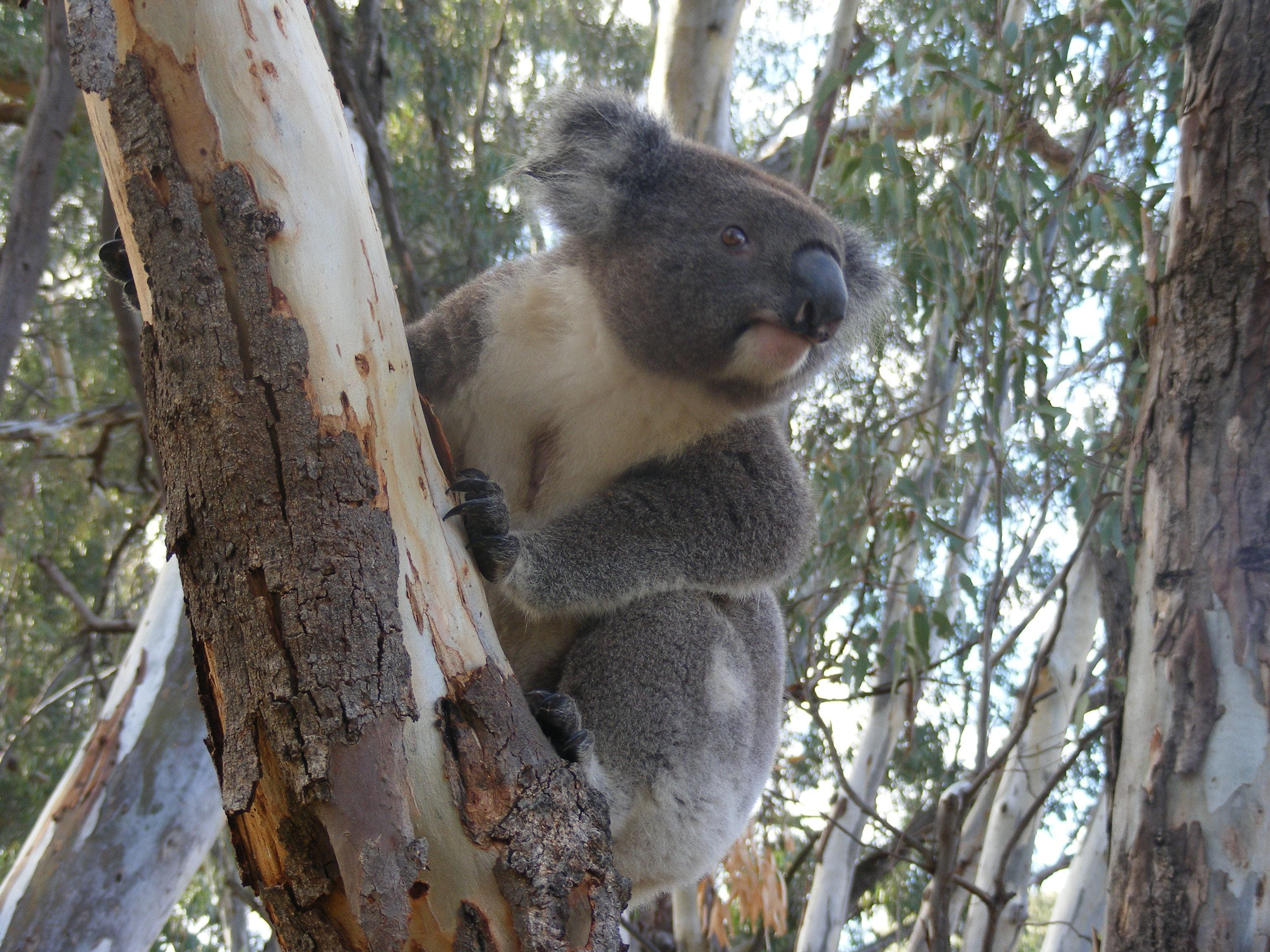 Annual Koala Count - Accommodation Tasmania