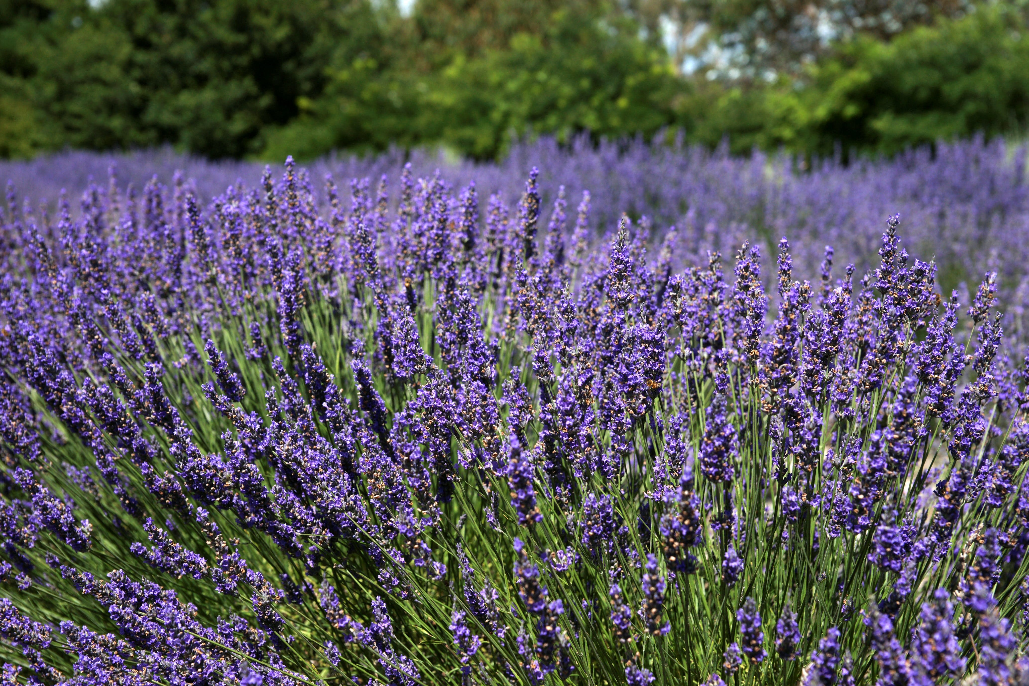 Lavender Herb and Chilli Festival - Accommodation Tasmania