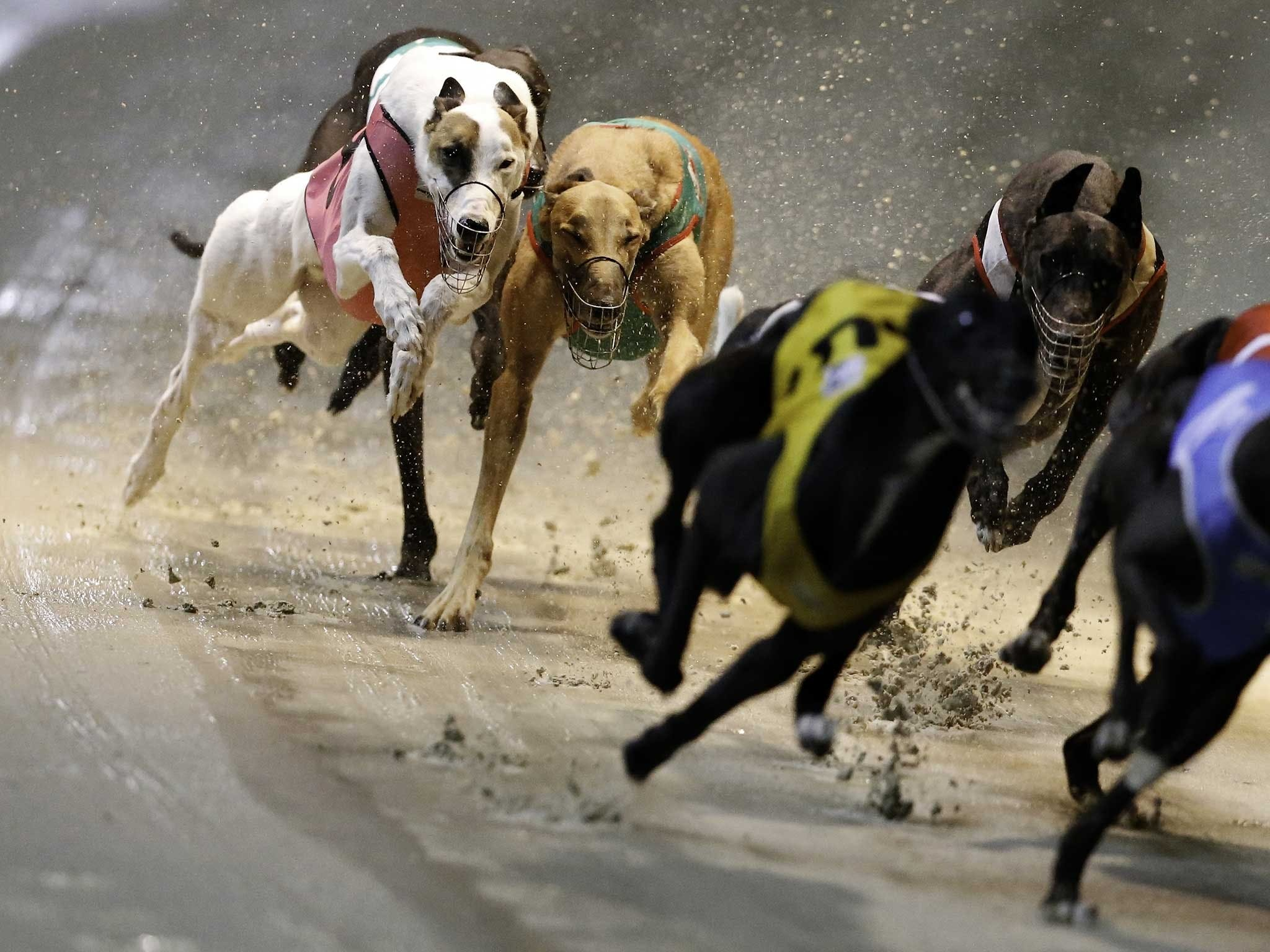 Twilight Greyhound Racing - Accommodation Tasmania